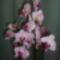 születésnapi orchidea