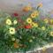 Ontják a virágokat a zinniák