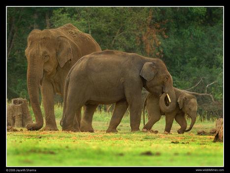 Indiai elefántok