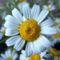 Kamilla virág