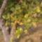 Öreg almafánk szépsége az Otelló szőlőnk