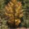 Aranyló fa