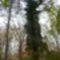 Kisbodak, Pállfy-sziget, fenyőfák a régi erdészház előkertjének a helyén, 2011. október 30.-án