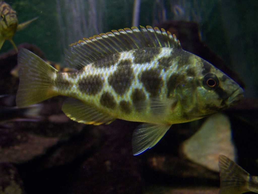 akvarisztika nimbochromis livingstonii female k233p