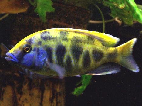 Nimbochromis venustus male