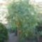 sárgaparadicsomfa