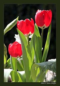 2009_Tulipan