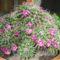 tövises kaktusz