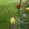 Rózsák ...