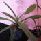 Paphiopedilum insigne (1.)