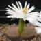 fehér virágú kavicsvirág