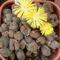földszínű kavicsvirág