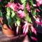 novemberi kaktuszom