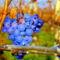 Novemberi szőlőjárás 6