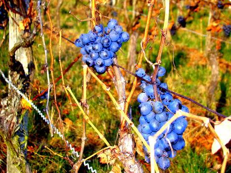 Novemberi szőlőjárás 7