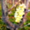 Novemberi szőlőjárás 8