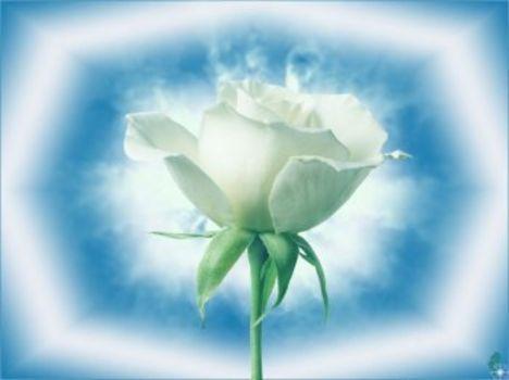 fehér rózsaszál