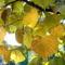 Mogyoró levelek színesben