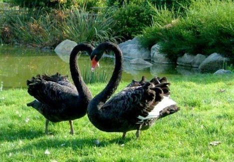 Fekete hattyú