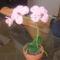 gyöngy orchidea
