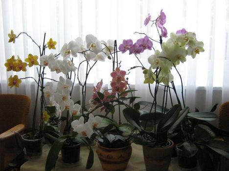 orchideáink 2011. július