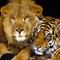 Oroszlán&Tigris