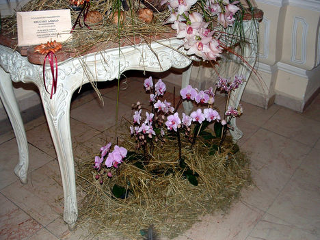 Phalaenopsis orchideák