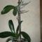 phalaenopsis+keiki