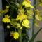 oncidium orchidea 2011. dec