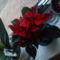Szép piros Mikulás virág