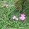 Királykői szegfű (Dianthus callizonus)