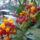 Ircsi virágai