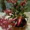 karácsonyi kaktusz novemberi nyilása   SCHLUMBERGERA GAERTNERI