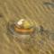 Kagyló
