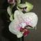 orchidea camelion
