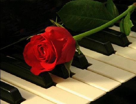 rózsa11