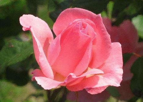 rózsa9