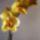 Szőke Mihályné orchideái