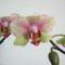 Anyu Phalaenopsis 2011-01-29/3.