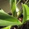 Paphiopedilum insigne (3.)