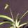Paphiopedium_insigne_5-001_1302272_6572_t