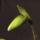 Paphiopedium_insigne_6_1302273_6021_t
