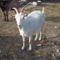 szanentáli kecske 1