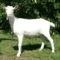 szanentáli kecske 3
