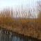 Kisbodak, Aranyvessző (fűz) a Kisbodaki csatorna partján, 2012. január 02.-án