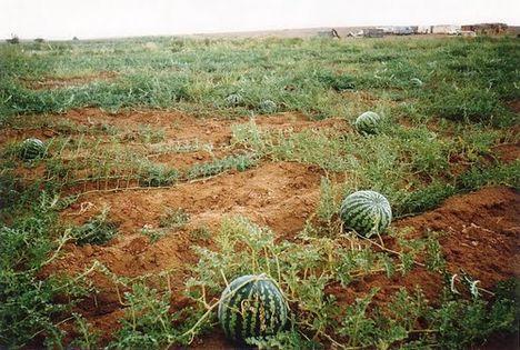 dinnyeföld a sivatagban (a világ egyik legfinomabb dinnyéje)