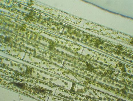 fonalas alga