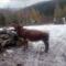 Csángó szomszéd egyik tehene