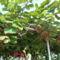gyümölcsfa Ulcinj-ban
