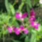 Gyujtoványfű-Linaria maroccana